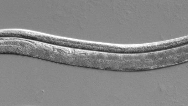 Спящая личинка (сверху) и взрослая особь (снизу) нематоды Caenorhabditis elegans