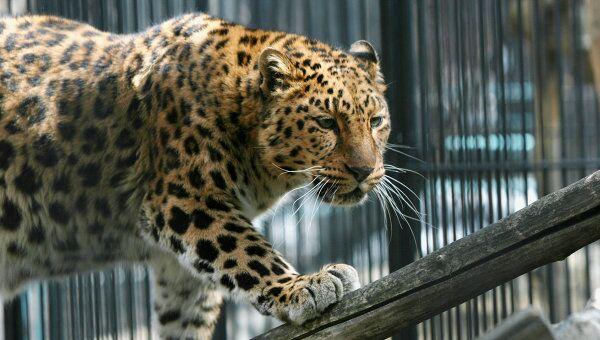 Леопард в зоопарке. Архив