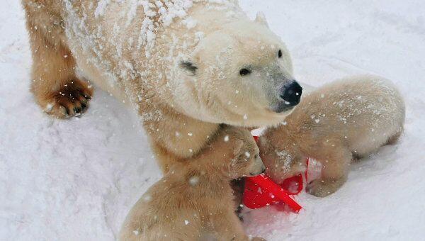 Белая медведица Услада. Архив