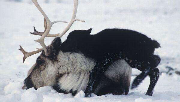 Северный олень, архивное фото