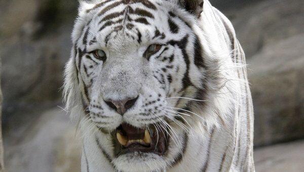 Бенгальский тигр в Московском зоопарке. Архивное фото