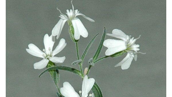 Растение, выращенное из фрагментов размороженного плода возрастом в 30 тысяч лет