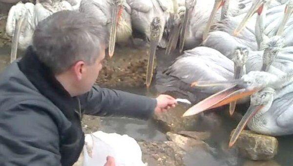 Сотни кудрявых пеликанов квартируют на заводе и едят рыбу из рук