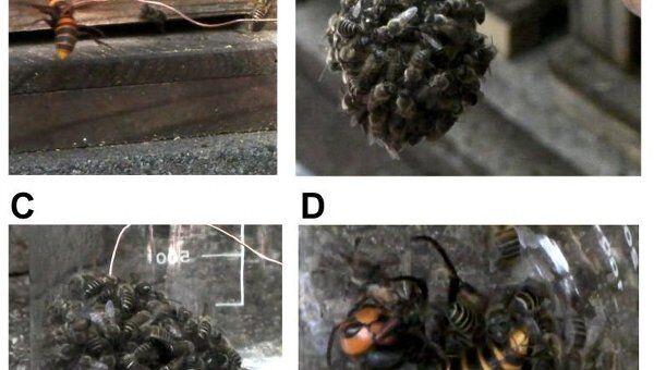 Японские пчелы объединяются в шар вокруг шершня-захватчика и поджаривают его своим теплом