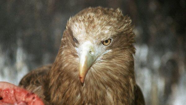 Орлан-белохвост. Архивное фото