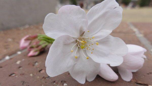 Цветок сакуры. Архив