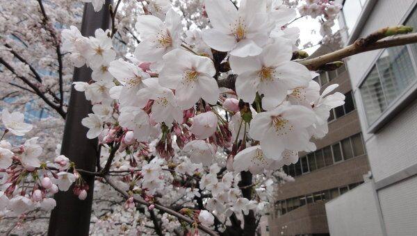 Цветение сакуры в Японии. Архивное фото