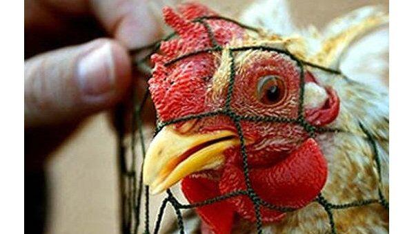 Новый случай заражения человека птичьим гриппом зафиксирован в Египте