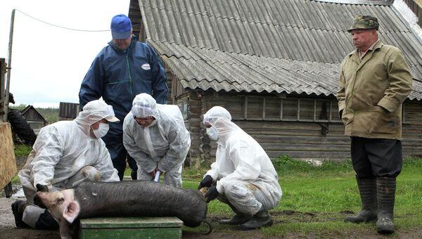 Вспышка африканской чумы свиней в Новгородской области. Архивное фото