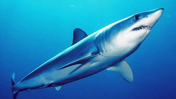 Мако (акула)