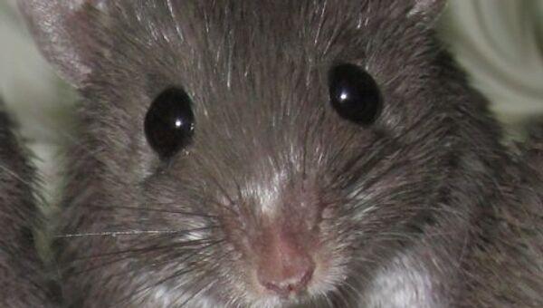 Иглистая мышь. Архивное фото