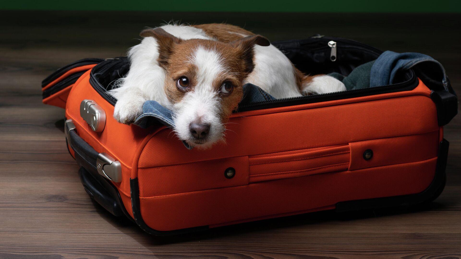 Собака породы джек-рассел терьер в чемодане - РИА Новости, 1920, 17.05.2021