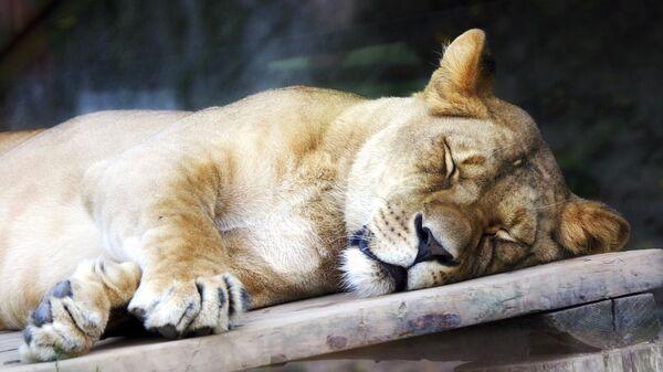 Львица  в зоопарке Братиславы