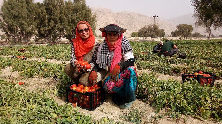 Иран. Помидорная плантация