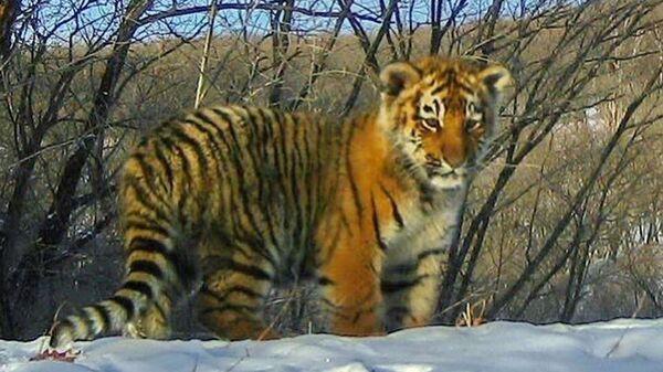 Амурский тигренок сфотографированный фотоловушкой нацпарка Земля леопарда