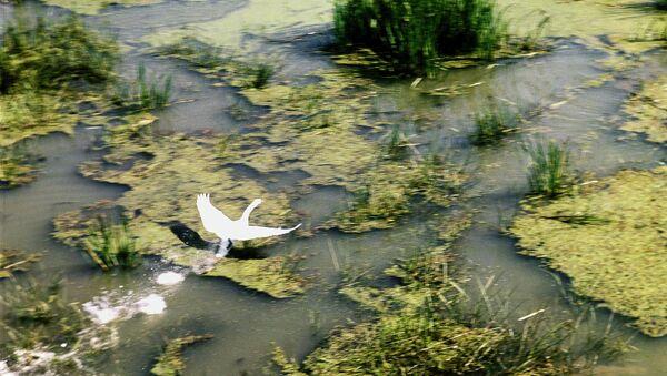 Лебедь в Астраханском заповеднике. Архивное фото