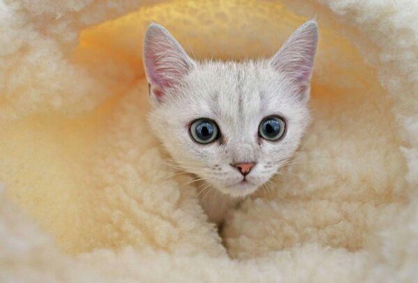 Международная выставка кошек в Калининграде