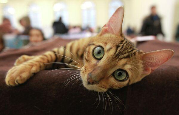 Выставка кошек Зимний альянс-2012