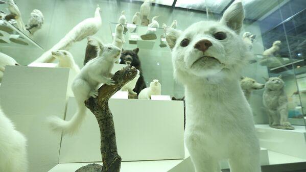 В Дарвиновском музее находится самая большая в России коллекция зверей-альбиносов