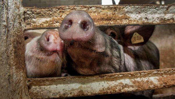 Свиньи, архивное фото