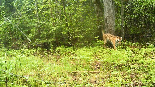 Пара тигров попалась в фотоловушки в Анюйском нацпарке на Дальнем Востоке