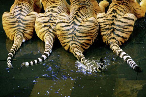 Тигриные хвосты
