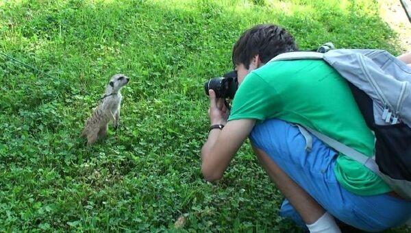 Ежик и сурикаты прогуливаются с посетителями Ленинградского зоопарка