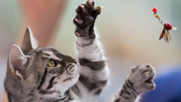 Кошка породы Американская короткошерстная. Архивное фото