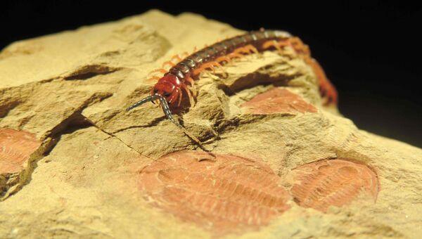 Современная многоножка и ее ископаемые родичи, существовавшие на земле 400-500 миллионов лет назад