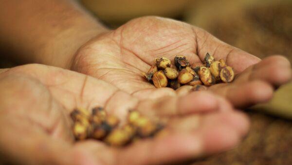 Зерна, прошедшие через желудок пальмовых циветт