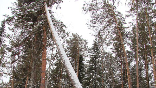 Рубка сосен в Турочакском районе Алтая, фото с места события