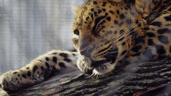 Дальневосточный леопард, архивное фото