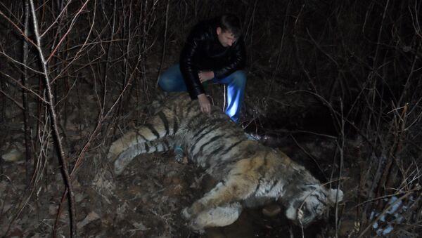 Мертвый тигр в нацпарке Земля леопарда в Приморье