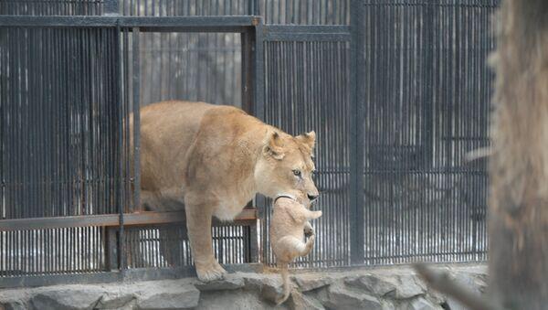 Новорожденный львенок в зоопарке Новосибирска, событийное фото