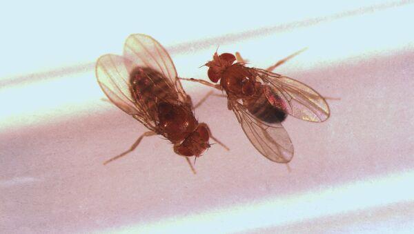 Самец и самка дрозофилы, архивное фото