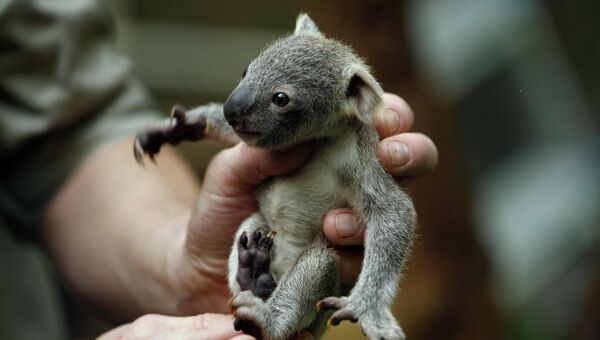 Детеныш коалы в зоопарке Дуйсбурга, Германия