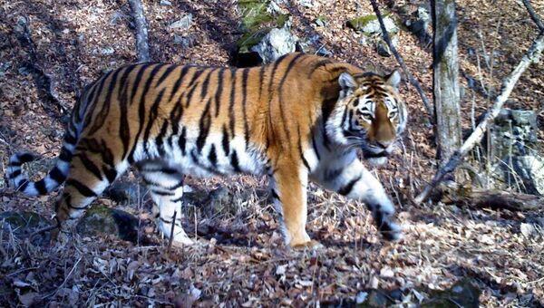 Тигрица. Архивное фото