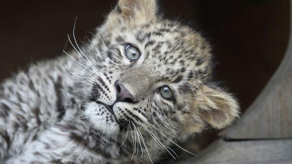 Котенок леопарда в Сочинском нацпарке