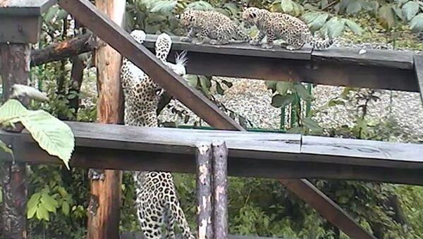 Котята леопарда  в питомнике Сочинского национального парка. Архивное фото