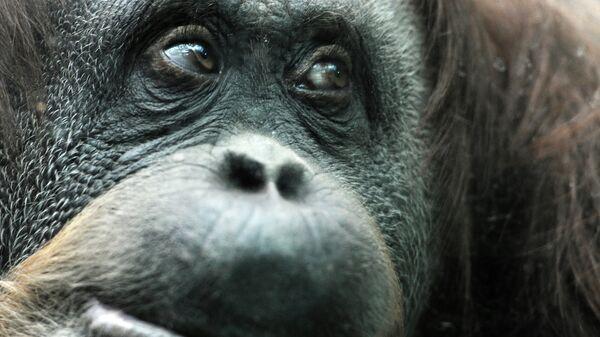 Орангутан в вольере Московского зоопарка
