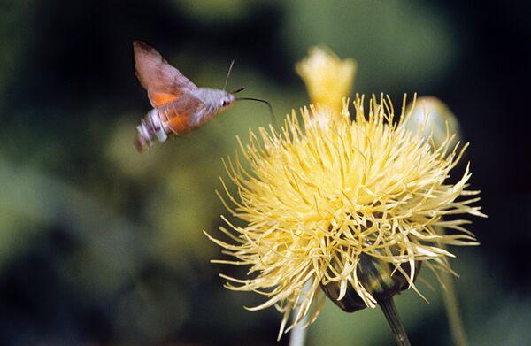 Полет мотылька над цветком