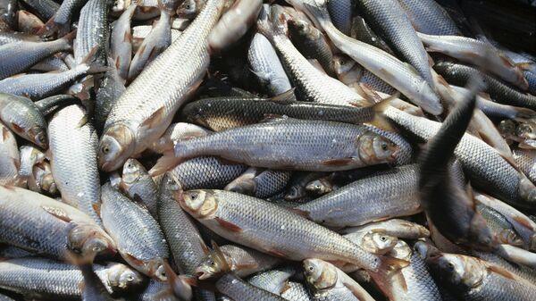 Улов рыбы кутум
