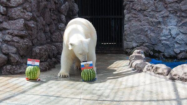 Белая медведица Аврора предсказала результат матча Россия – Хорватия