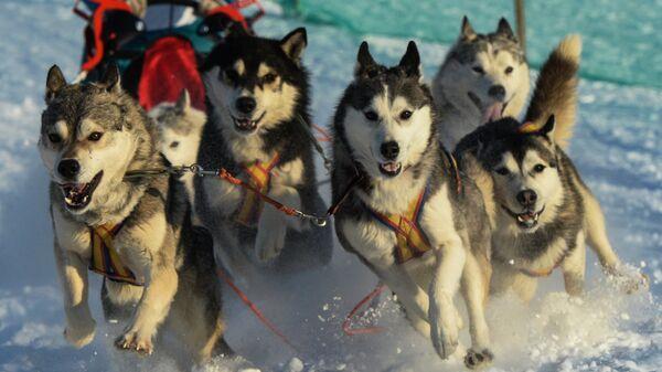 Собачья упряжка на трассе гонки Рождественский заезд - 2016